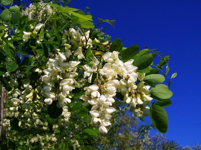 Acacia: proprietà e controindicazioni di fiori, miele e polvere