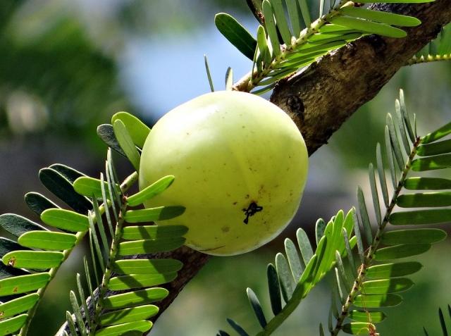 COMPLETO - Amla: cos'è? Proprietà, benefici, usi e controindicazioni del frutto