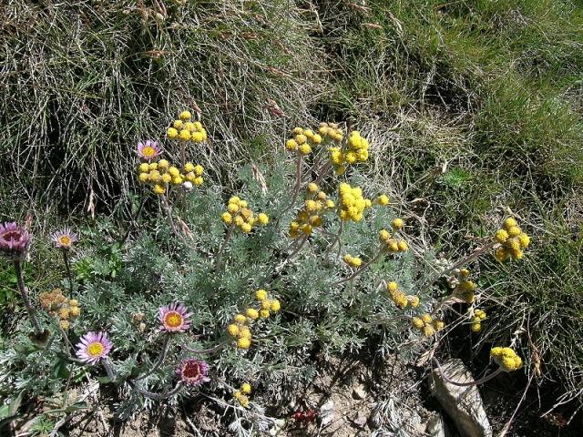Artemisia: dove comprarla? Proprietà, benefici ed effetti collaterali