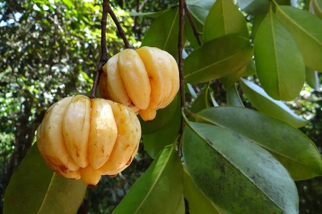 Garcinia cambogia: proprietà, dosaggio, benefici ed effetti collaterali