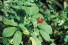 Ginseng rosso: proprietà, dosaggi ed opinioni