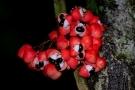 Guaranà: proprietà, benefici e controindicazioni della Paullinia cupana