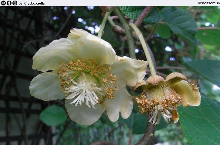 Fiore del Kiwi