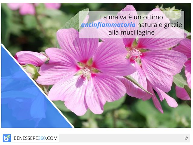 Malva: proprietà curative e cosmetiche, benefici e controindicazioni