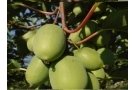 Nergi: proprietà, valori nutrizionali e ricette con il baby kiwi