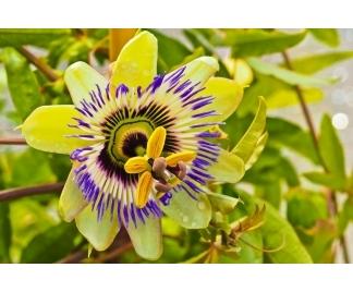 Passiflora effetti collaterali e controindicazioni