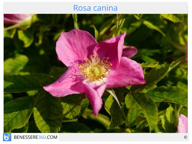 Rosa canina: proprietà, benefici terapeutici e controindicazioni