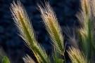 Tumminia: proprietà, benefici e valori nutrizionali di grano, farina e pane