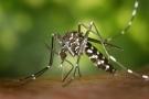 Zanzara tigre: rischi e rimedi contro le punture